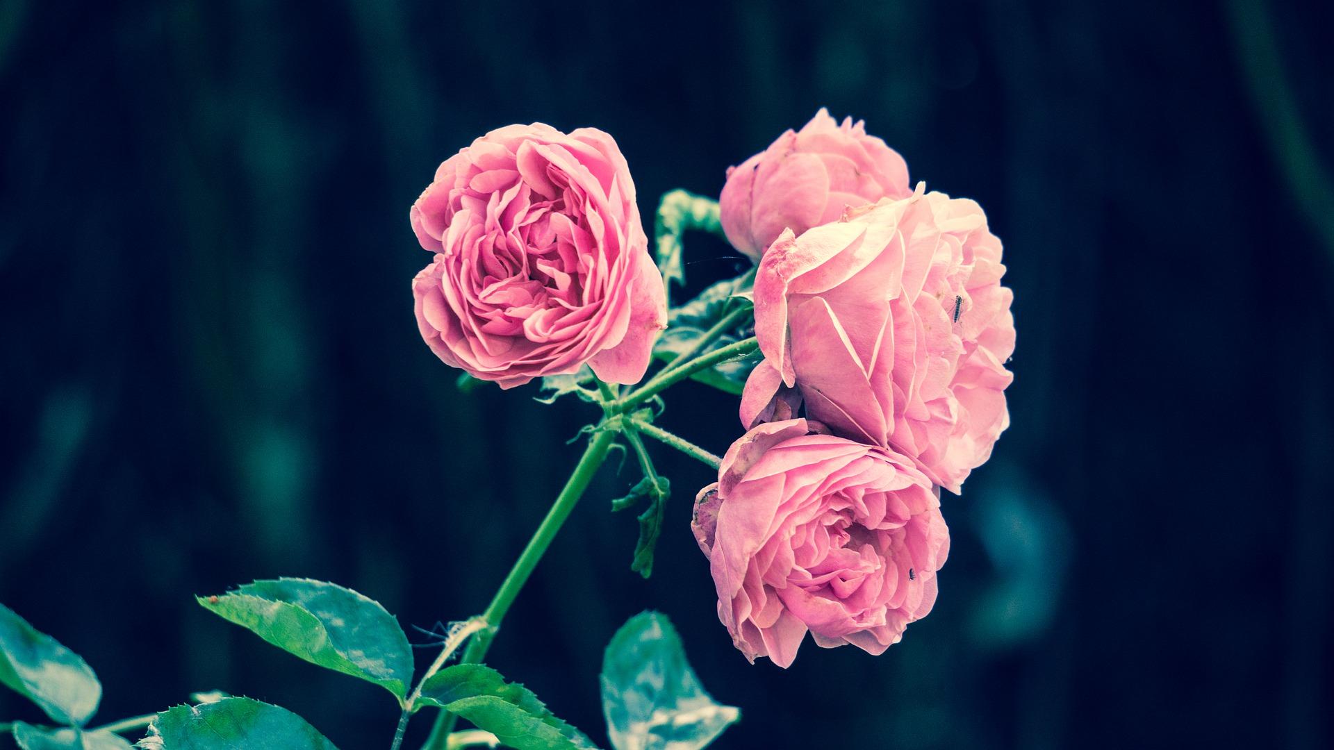 pink roses 2533389 1920 - Activités et stages - OCA Bonneville